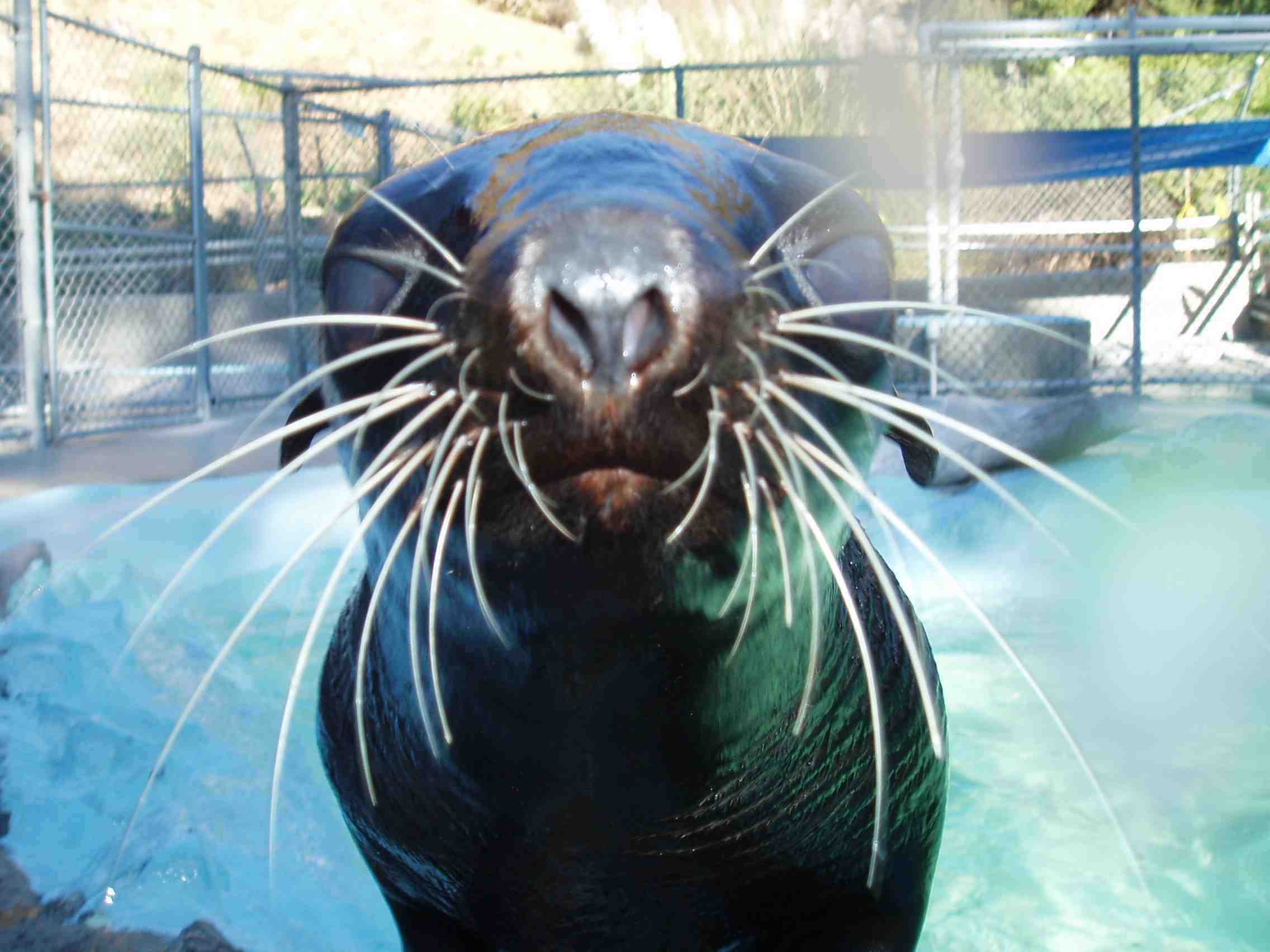 Mike Ryan helped rescue this seal off the CA coast             in 2005.